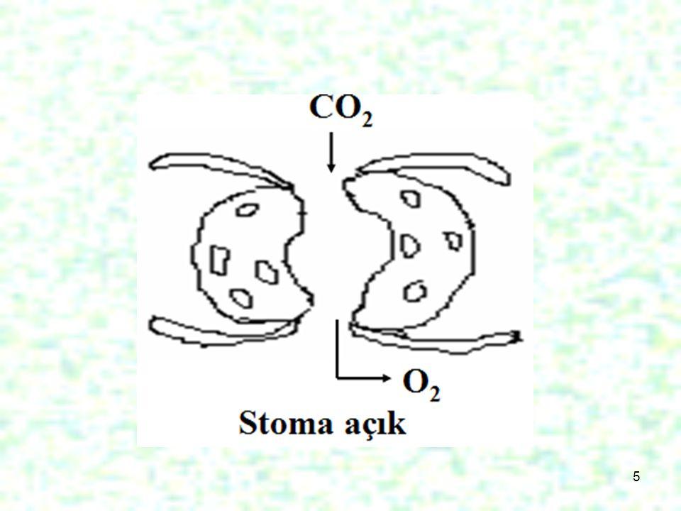 26 Akciğer içerisinde her tarafa dallanmış şekilde dağılan bronşçukların ucunda alveol denilen hava kesecikleri vardır.