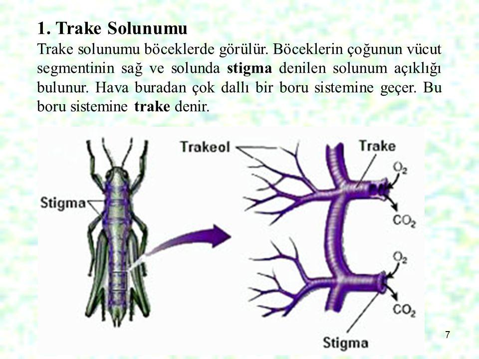 7 1. Trake Solunumu Trake solunumu böceklerde görülür. Böceklerin çoğunun vücut segmentinin sağ ve solunda stigma denilen solunum açıklığı bulunur. Ha