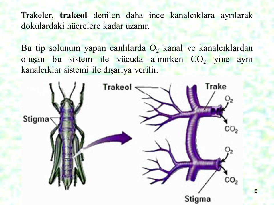 8 Trakeler, trakeol denilen daha ince kanalcıklara ayrılarak dokulardaki hücrelere kadar uzanır. Bu tip solunum yapan canlılarda O 2 kanal ve kanalcık