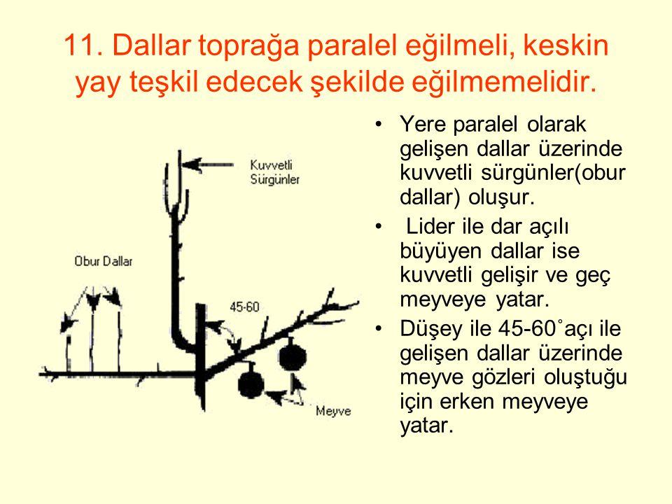 Yere paralel olarak gelişen dallar üzerinde kuvvetli sürgünler(obur dallar) oluşur.