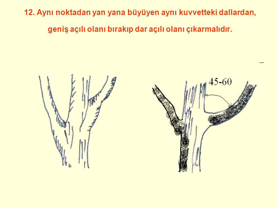12. Aynı noktadan yan yana büyüyen aynı kuvvetteki dallardan, geniş açılı olanı bırakıp dar açılı olanı çıkarmalıdır.