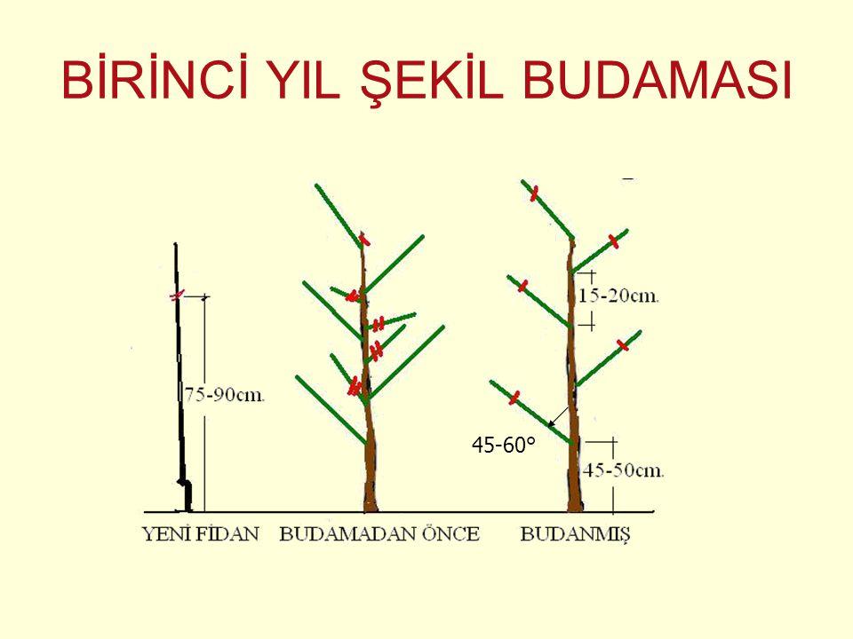 BİRİNCİ YIL ŞEKİL BUDAMASI 45-60°