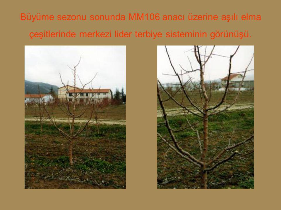 Büyüme sezonu sonunda MM106 anacı üzerine aşılı elma çeşitlerinde merkezi lider terbiye sisteminin görünüşü.