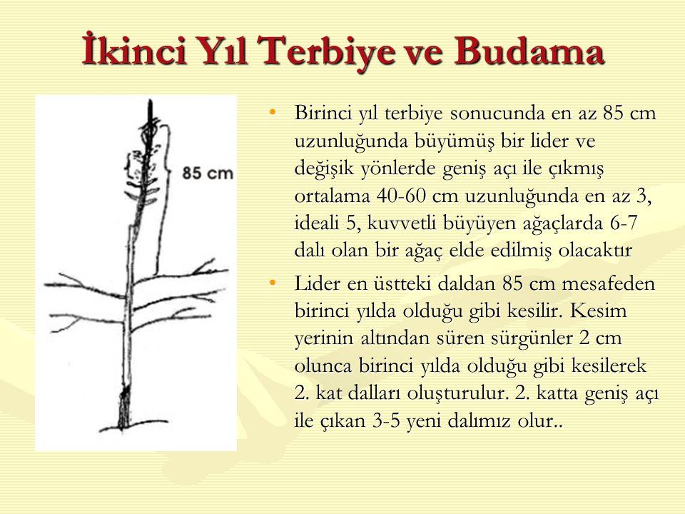 İkinci Yıl Terbiye ve Budama Birinci yıl terbiye sonucunda en az 85 cm uzunluğunda büyümüş bir lider ve değişik yönlerde geniş açı ile çıkmış ortalama 40-60 cm uzunluğunda en az 3, ideali 5, kuvvetli büyüyen ağaçlarda 6-7 dalı olan bir ağaç elde edilmiş olacaktır Lider en üstteki daldan 85 cm mesafeden birinci yılda olduğu gibi kesilir.