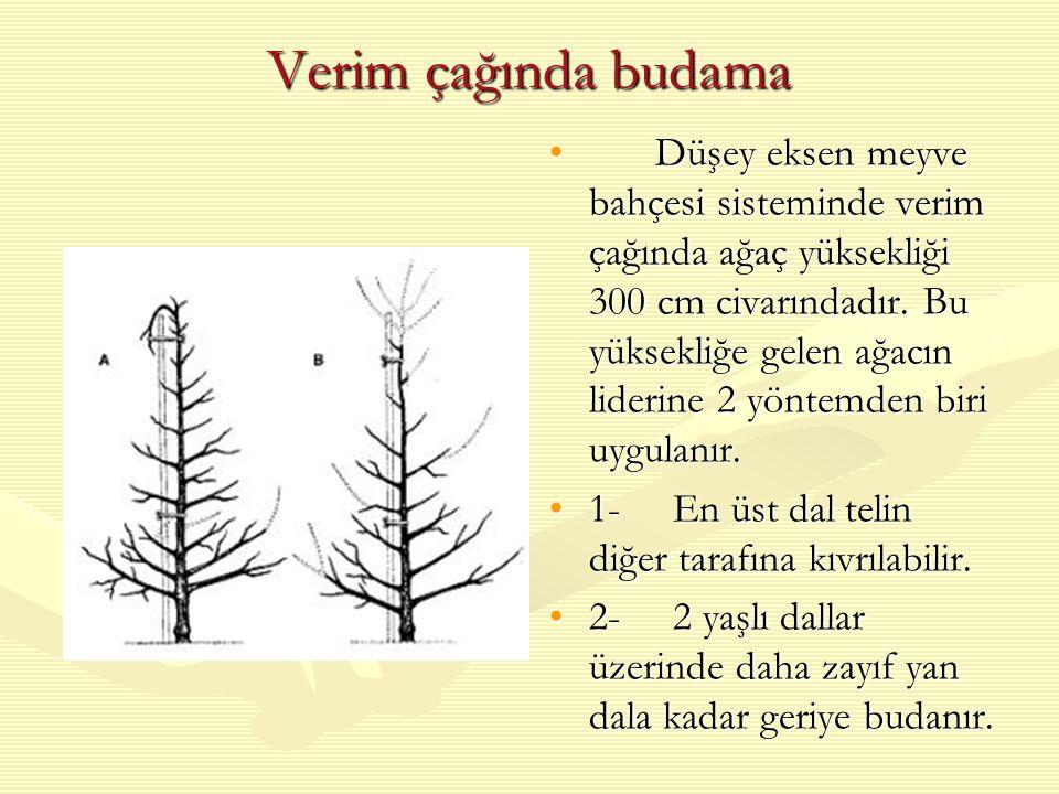 Verim çağında budama Düşey eksen meyve bahçesi sisteminde verim çağında ağaç yüksekliği 300 cm civarındadır.