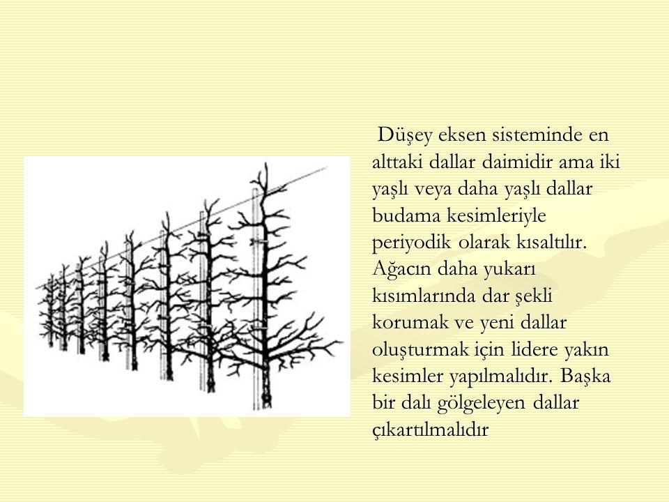 Düşey eksen sisteminde en alttaki dallar daimidir ama iki yaşlı veya daha yaşlı dallar budama kesimleriyle periyodik olarak kısaltılır.