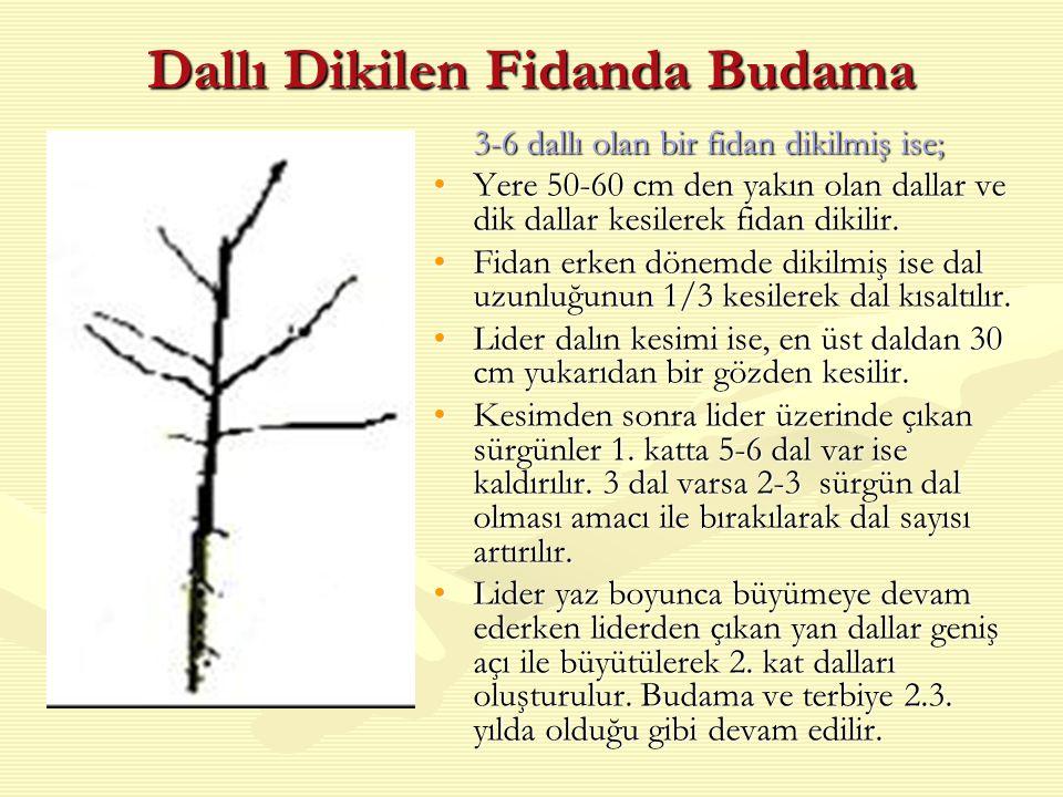 Dallı Dikilen Fidanda Budama 3-6 dallı olan bir fidan dikilmiş ise; Yere 50-60 cm den yakın olan dallar ve dik dallar kesilerek fidan dikilir.