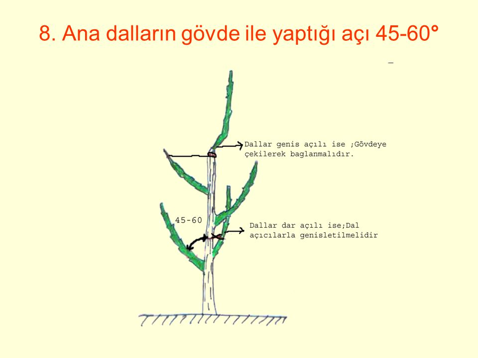 b- Açısını genişletmek istediğimiz dal, dal açıcı kullanmadan budama ile doğal olarak genişletilmiştir.