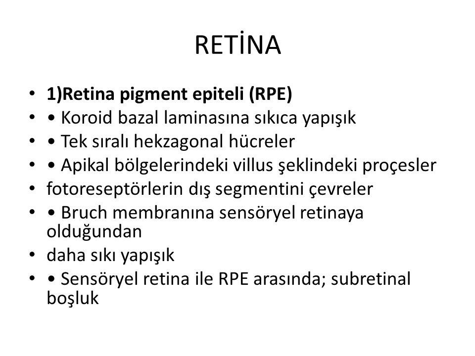 RETİNA 1)Retina pigment epiteli (RPE) Koroid bazal laminasına sıkıca yapışık Tek sıralı hekzagonal hücreler Apikal bölgelerindeki villus şeklindeki pr