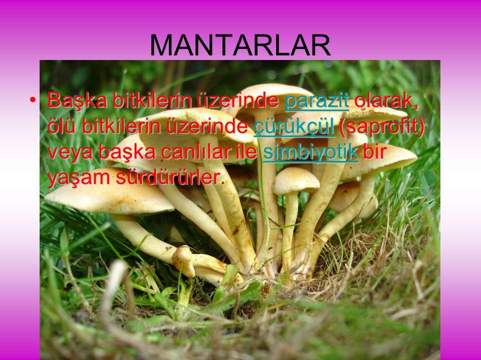 MANTARLAR Başka bitkilerin üzerinde parazit olarak, ölü bitkilerin üzerinde çürükçül (saprofit) veya başka canlılar ile simbiyotik bir yaşam sürdürürler.Başka bitkilerin üzerinde parazit olarak, ölü bitkilerin üzerinde çürükçül (saprofit) veya başka canlılar ile simbiyotik bir yaşam sürdürürler.parazitçürükçülsimbiyotikparazitçürükçülsimbiyotik