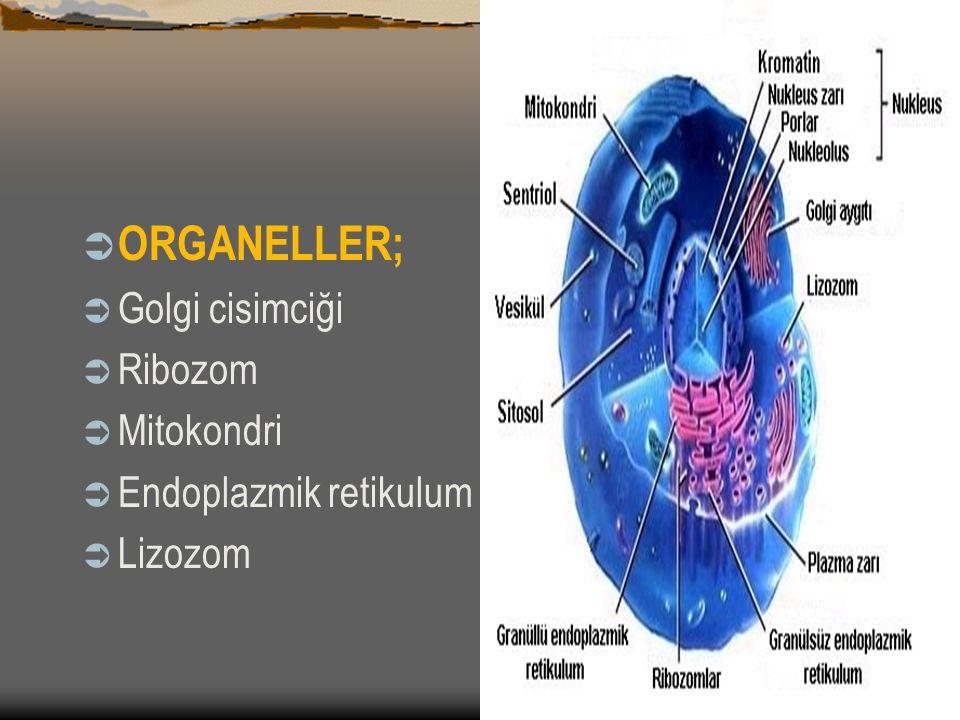 STOPLAZMA VE HÜCRE ORGANELLERİ (CELL ORGANEİS)  Sitoplazma; tüm hayatsal olayların yapıldığı hücre kısmıdır.
