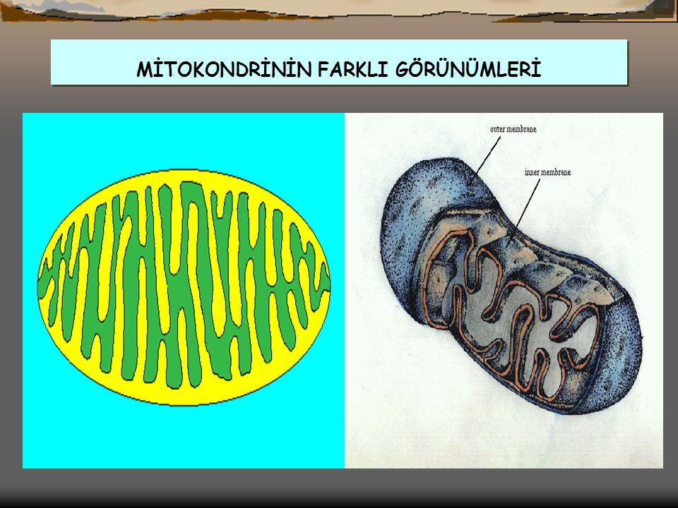MİTOKONDRİ (MİTOCHONDRİON)  HÜCRENİN ENERJİ (ATP) MERKEZİDİR., Hücre solunumunda görev yaparlar.