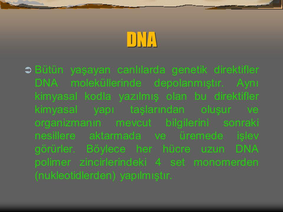  LİZOZOM: Hücredeki büyük yapılı besinlerin sindirilmesini sağlar (hücre içi sindirimi).