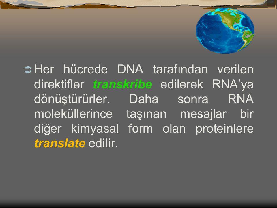 DNA  Bütün yaşayan canlılarda genetik direktifler DNA moleküllerinde depolanmıştır.