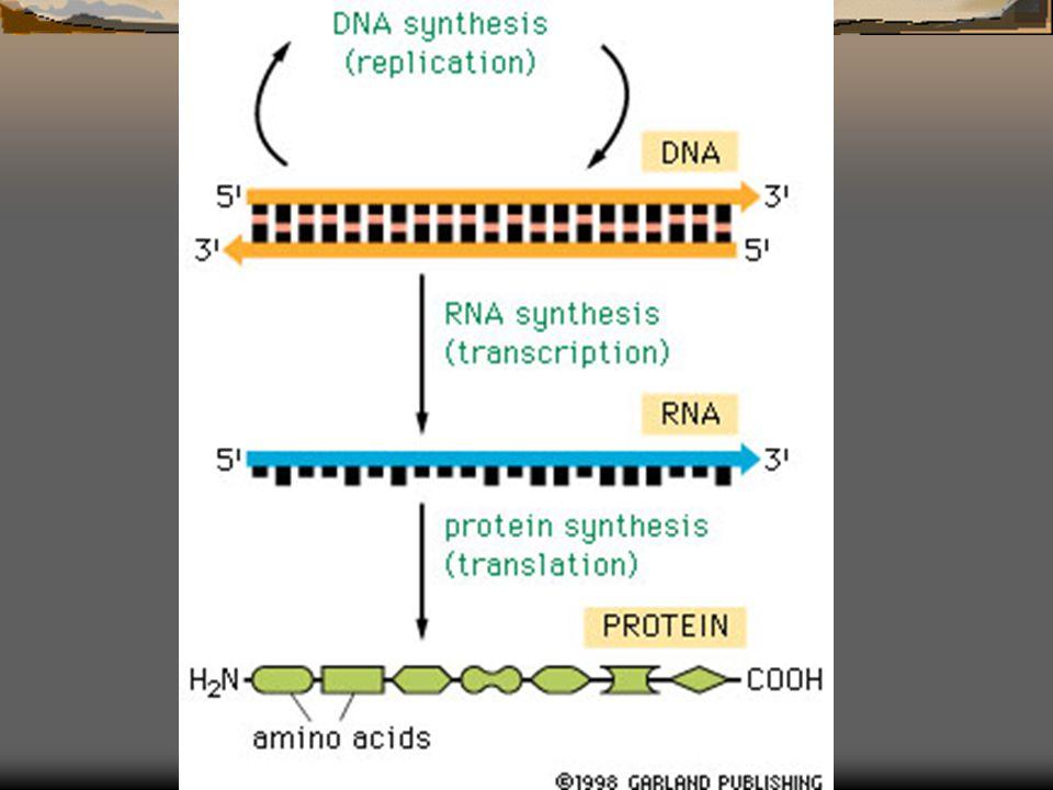  Her hücrede DNA tarafından verilen direktifler transkribe edilerek RNA'ya dönüştürürler.