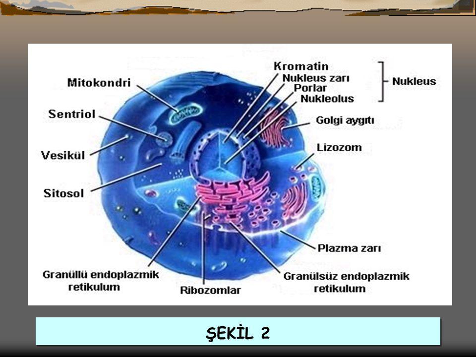 GOLGİ CİSİMCİĞİ (AYGITI) (GOLGİAPPARATUS)  Golgi Cisimciği: Besinlerden salgı maddelerini üretip zarla paketleyerek salgılar.Bu salgılara ter,tükrük,enzim,ko ku maddesi,bal özü,mukus ve yağ sentezi örnek verilebilir.