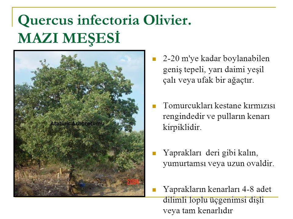 Quercus infectoria Olivier.