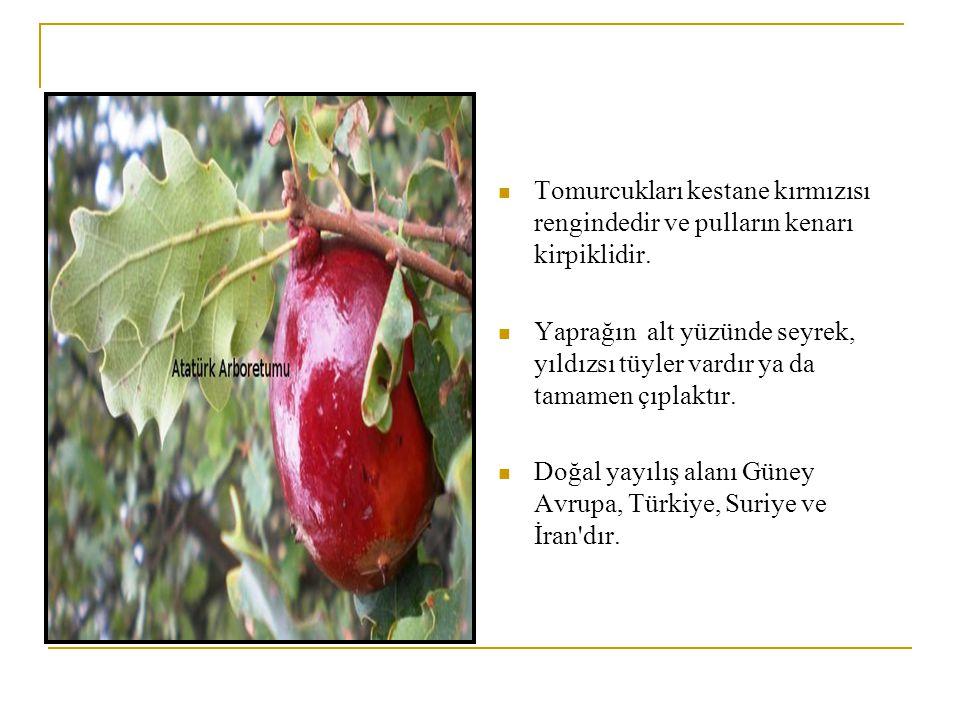 Türkiye de iki alttürü yetişir.Quercus subsp.