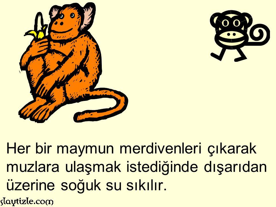 Kafese beş maymun koyarlar. Ortaya da bir merdiven konur ve onun tepesine de iple bir kangal muz asılır.