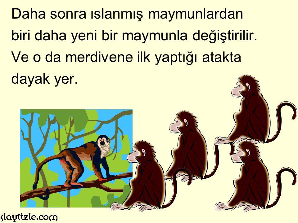 İlk yaptığı iş, koşup muzlara ulaşmak için merdivene tırmanmak olur. Fakat diğer dört maymun buna izin vermez ve yeni maymunu bir de döverler.