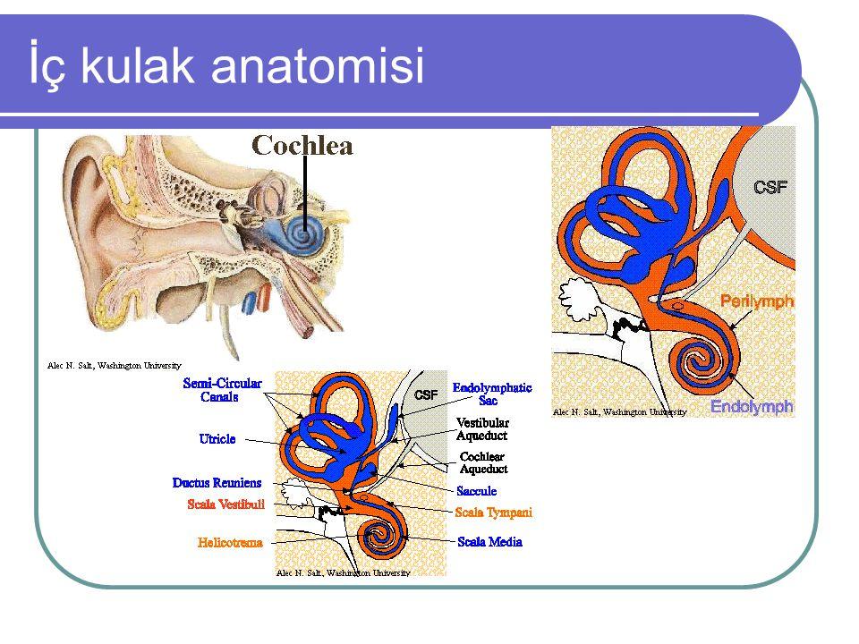 İç kulak anatomisi