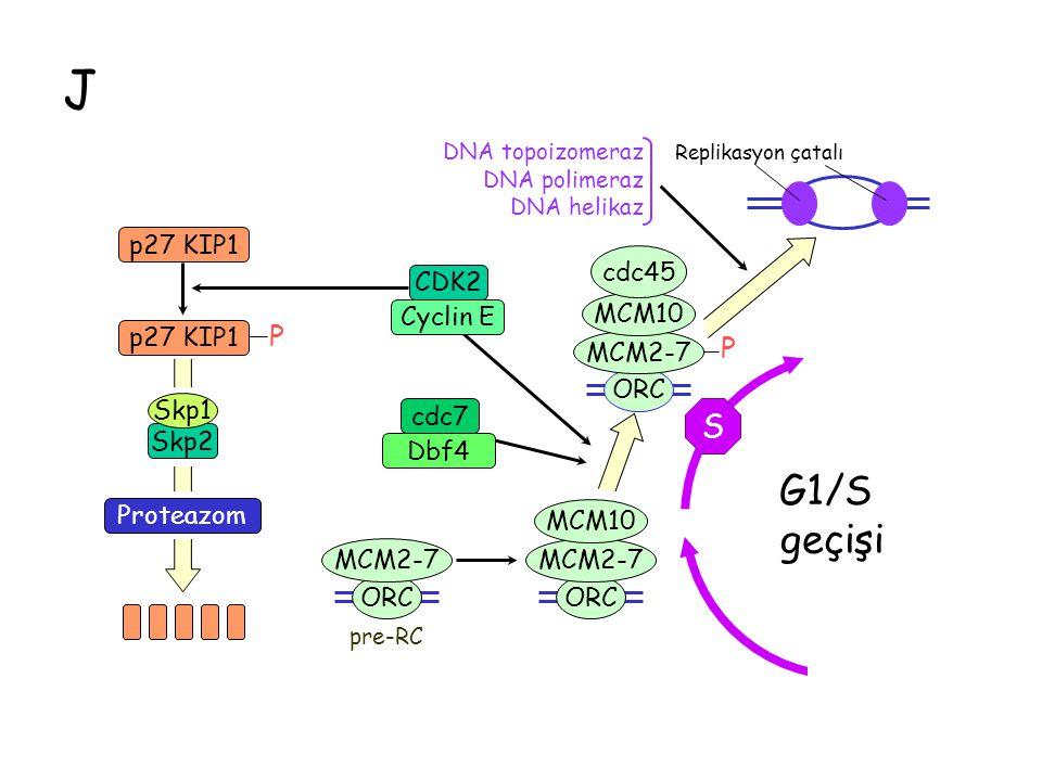 J G1 P M S CDK2 Cyclin E cdc7 Dbf4 G1/S geçişi ORC MCM2-7 ORC MCM2-7 MCM10 ORC MCM2-7 MCM10 cdc45 DNA topoizomeraz DNA polimeraz DNA helikaz pre-RC p27 KIP1 P Proteazom Skp2 Skp1 Replikasyon çatalı