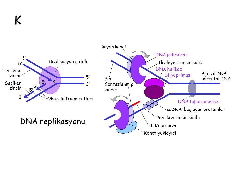 K DNA replikasyonu Atasal DNA parental DNA DNA polimeraz DNA helikaz DNA primaz İlerleyen zincir kalıbı DNA topoizomeraz Yeni Sentezlenmiş zincir Kenet yükleyici kayan kenet ssDNA-bağlayan proteinler RNA primeri Geciken zincir kalıbı 3' 5' 3' 5' 3' 5' İlerleyen zincir Geciken zincir Okazaki fragmentleri Replikasyon çatalı 5' 3'