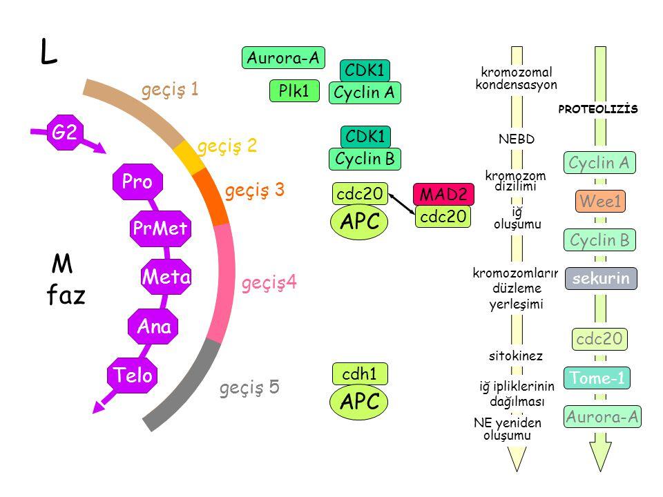 L M faz Telo Ana Meta PrMet G2 Pro geçiş 1 geçiş 2 geçiş 3 geçiş4 geçiş 5 CDK1 Cyclin B Plk1 CDK1 Cyclin A Aurora-A cdc20 APC cdh1 APC NEBD iğ oluşumu iğ ipliklerinin dağılması sitokinez kromozom dizilimi kromozomların düzleme yerleşimi kromozomal kondensasyon NE yeniden oluşumu cdc20 MAD2 Cyclin A Cyclin B cdc20 sekurin Aurora-A Wee1 Tome-1 PROTEOLIZİS