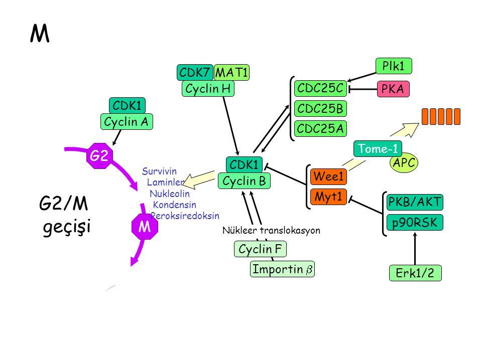 M APC G2 M G2/M geçişi CDK1 Cyclin B CDC25A CDK7 Cyclin H MAT1CDK1 Cyclin A Cyclin F CDC25B CDC25C Wee1 Myt1 PKB/AKT p90RSK Erk1/2 Importin  Nükleer translokasyon Survivin Laminler Nukleolin Kondensin Peroksiredoksin PKA Tome-1 Plk1