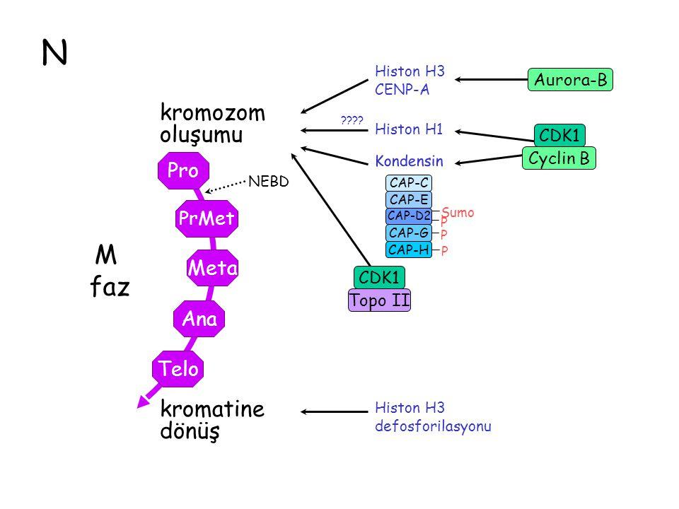 N Histon H3 CENP-A Topo II CDK1 kromozom oluşumu Sumo P P P CAP-C CAP-E CAP-D2 CAP-G CAP-H Aurora-B CDK1 Cyclin B Kondensin Histon H1 ???? kromatine d