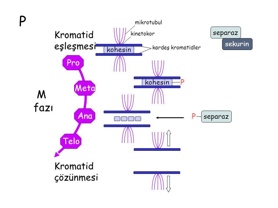P M fazı Telo Ana Meta Pro kohesin Kromatid çözünmesi kinetokor mikrotubul kohesin Kromatid eşleşmesi kardeş kromatidler P separaz P sekurin
