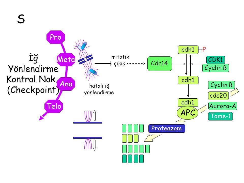 S İğ Yönlendirme Kontrol Nok. (Checkpoint) Telo Ana Meta Pro hatalı iğ yönlendirme mitotik çıkış CDK1 Cyclin B P cdh1 Cdc14 cdh1 APC cdc20 Aurora-A Pr