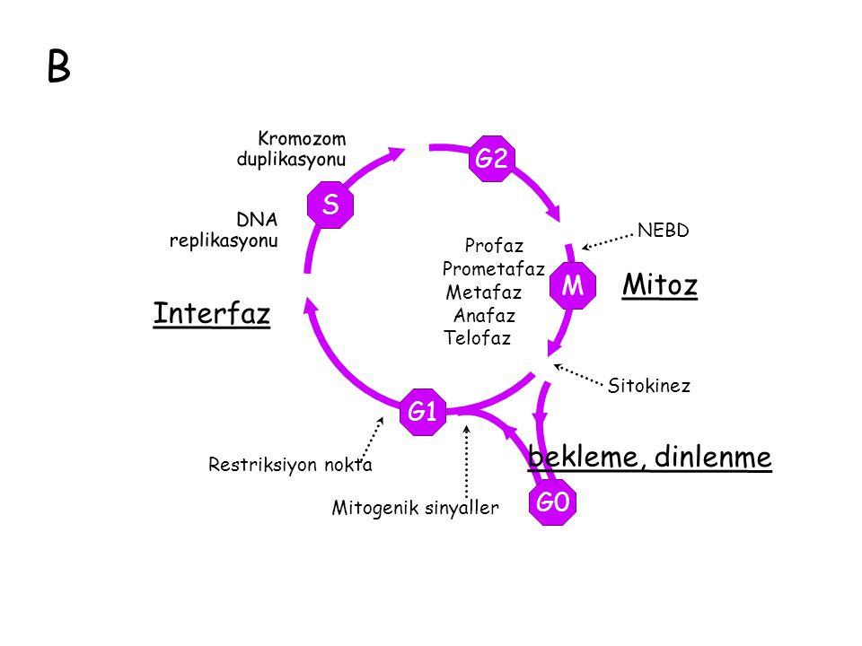 B Mitoz DNA replikasyonu G2 M G1 S Profaz Prometafaz Metafaz Anafaz Telofaz G0 Mitogenik sinyaller bekleme, dinlenme NEBD Sitokinez Restriksiyon nokta