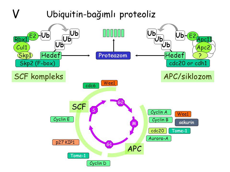 V SCF kompleksAPC/siklozom SCF APC Wee1 cdc20 Aurora-A Cyclin E p27 KIP1 Cyclin B sekurin Cyclin A Cyclin D cdc6 Tome-1 Wee1 G2 M G1 S Tome-1 Skp2 (F-