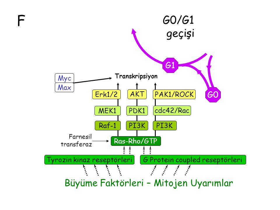 F G1 G0 G0/G1 geçişi Ras-Rho/GTP Raf-1 MEK1 Erk1/2 cdc42/Rac Tyrozin kinaz reseptörleri Büyüme Faktörleri – Mitojen Uyarımlar PAK1/ROCK Transkripsiyon Farnesil transferaz G Protein coupled reseptörleri Max Myc PI3K PDK1 AKT PI3K