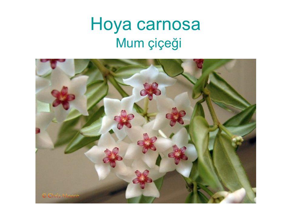 Hoya carnosa Mum çiçeği