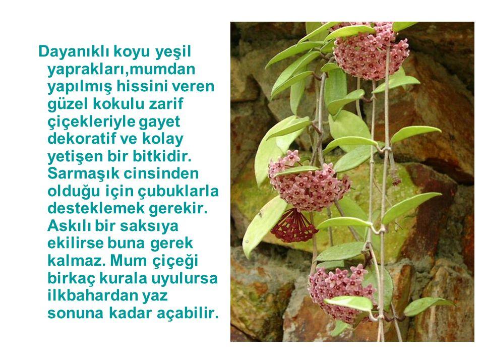 Dayanıklı koyu yeşil yaprakları,mumdan yapılmış hissini veren güzel kokulu zarif çiçekleriyle gayet dekoratif ve kolay yetişen bir bitkidir. Sarmaşık