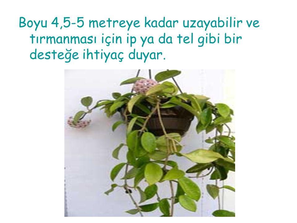TASARIM ÖZELLİKLERİ Hoya,sarkık formlu bir bitki olduğundan yüksek tavanlı mekanlarda gözü aşağıya yönlendirmek amacıyla kullanılabilir.Bu bitkiler rahatlatıcı etki yarattığından hastane ve ofis gibi mekanlarda da kullanılabilir.Aynı zamanda tırmanıcı olduklarından restoran, lobi ve işyeri gibi mekanlarda mekan ayırma amaçlı kullanılabilir.