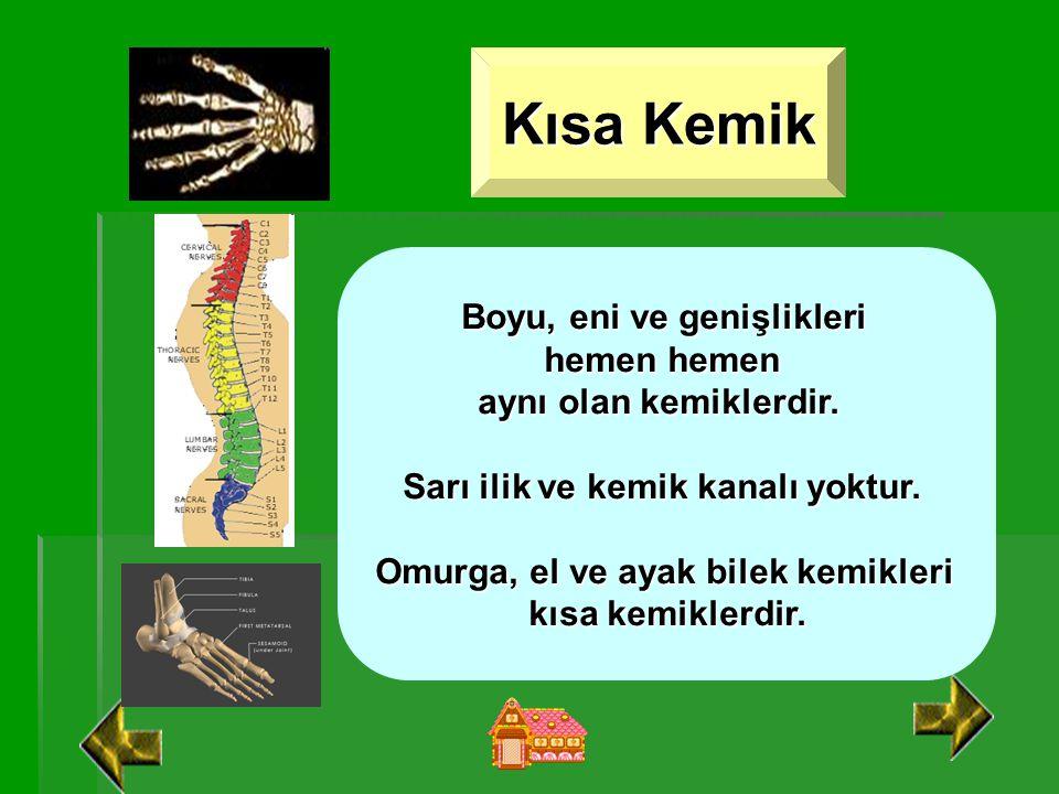 Uzun Kemik Boyu eninden uzun olan kemiklerdir. Vücudun hareketini sağlayan kemiklerdir. Kol ve bacaklarda bulunur. Sarı ilik ve kemik kanalı vardır.