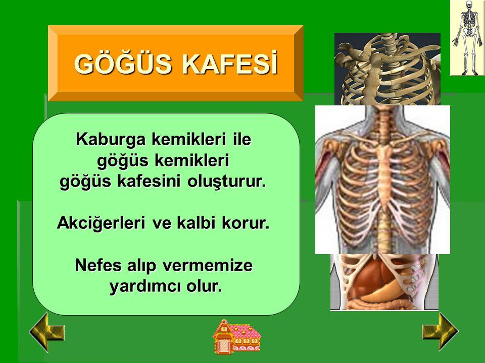 GÖĞÜS KAFESİ Kaburga kemikleri ile göğüs kemikleri göğüs kafesini oluşturur.