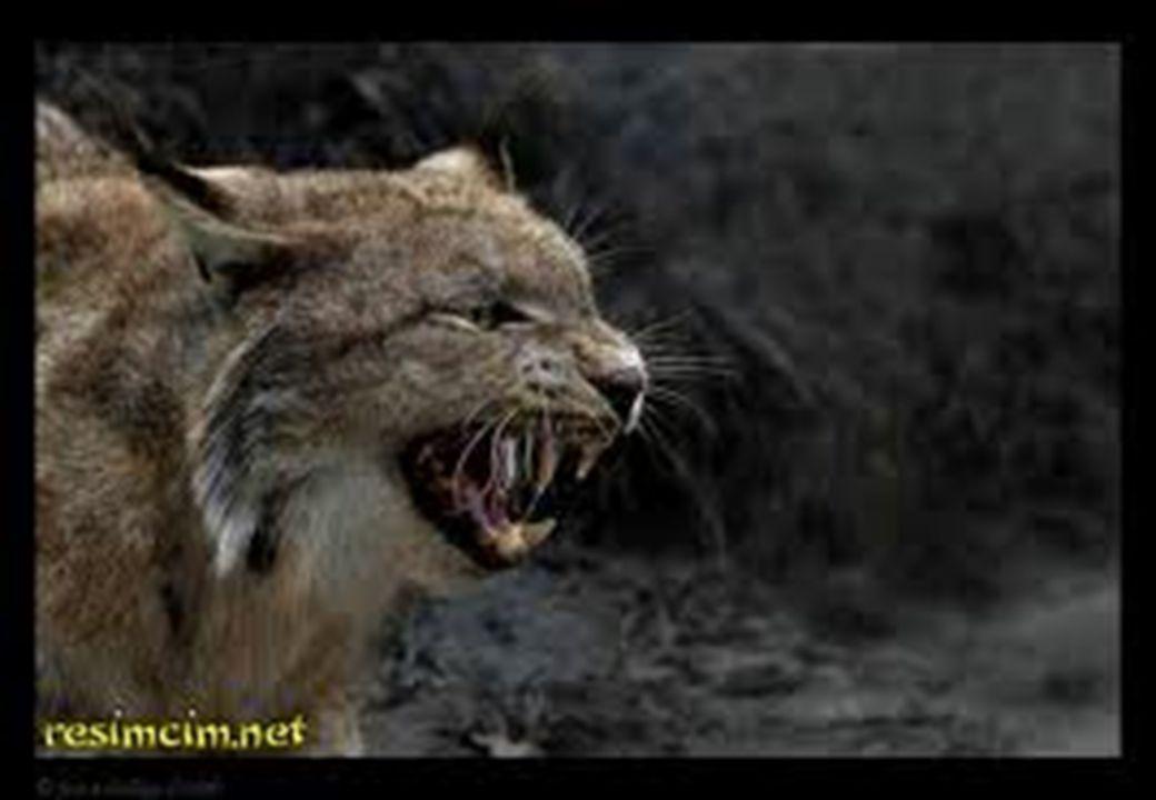 ÇİTA K edigiller ailesinden, saatte 112 km koşabilen en hızlı kara hayvanı.