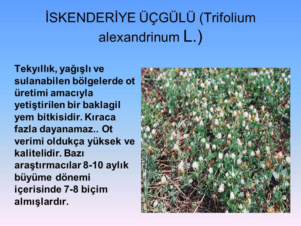 İSKENDERİYE ÜÇGÜLÜ (Trifolium alexandrinum L.) Tekyıllık, yağışlı ve sulanabilen bölgelerde ot üretimi amacıyla yetiştirilen bir baklagil yem bitkisidir.