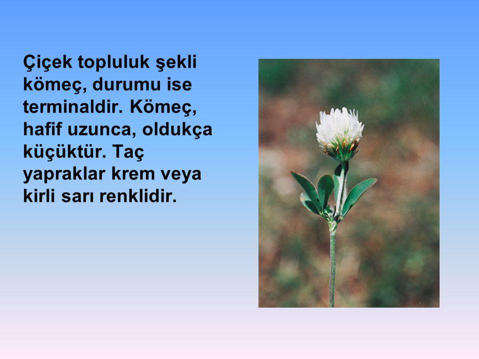 Çiçek topluluk şekli kömeç, durumu ise terminaldir.