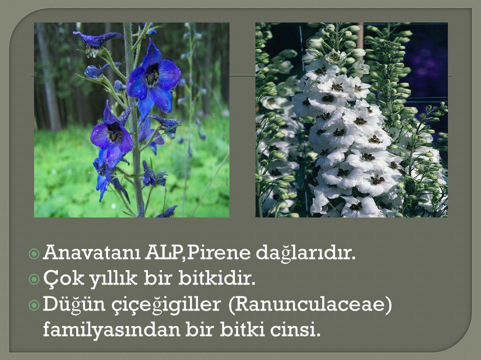  Anavatanı ALP,Pirene da ğ larıdır.  Çok yıllık bir bitkidir.