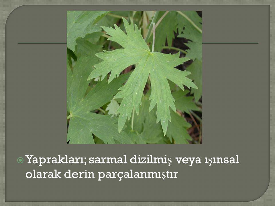  Yaprakları; sarmal dizilmi ş veya ı ş ınsal olarak derin parçalanmı ş tır