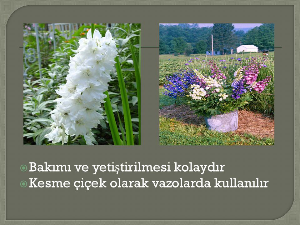  Bakımı ve yeti ş tirilmesi kolaydır  Kesme çiçek olarak vazolarda kullanılır