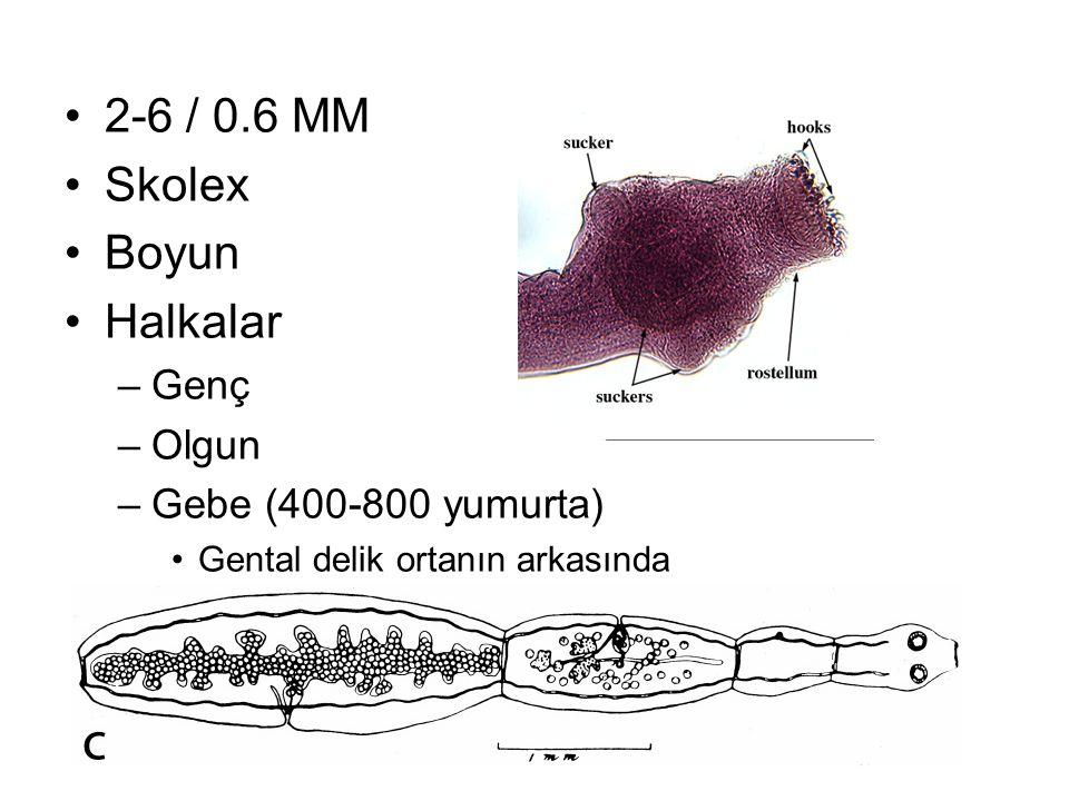 2-6 / 0.6 MM Skolex Boyun Halkalar –Genç –Olgun –Gebe (400-800 yumurta) Gental delik ortanın arkasında