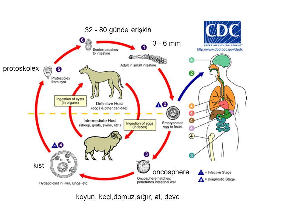 Antijen B –Kütikül, çimlenme kapsülü ve protoskolekste bulunur –Lipoprotein yapısında –100ºC'ye 15 dakika dayanır Normal insan serumu komplemanın da etkisiyle onkosferi eritir.