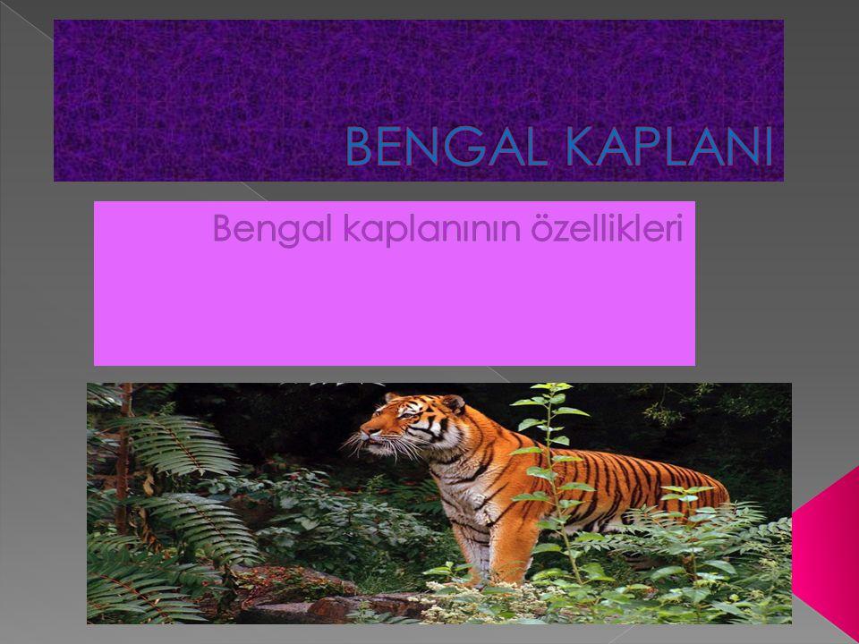  İri bir erkek Bengal kaplanının boyu 3 metreye kadar uzayabilir.
