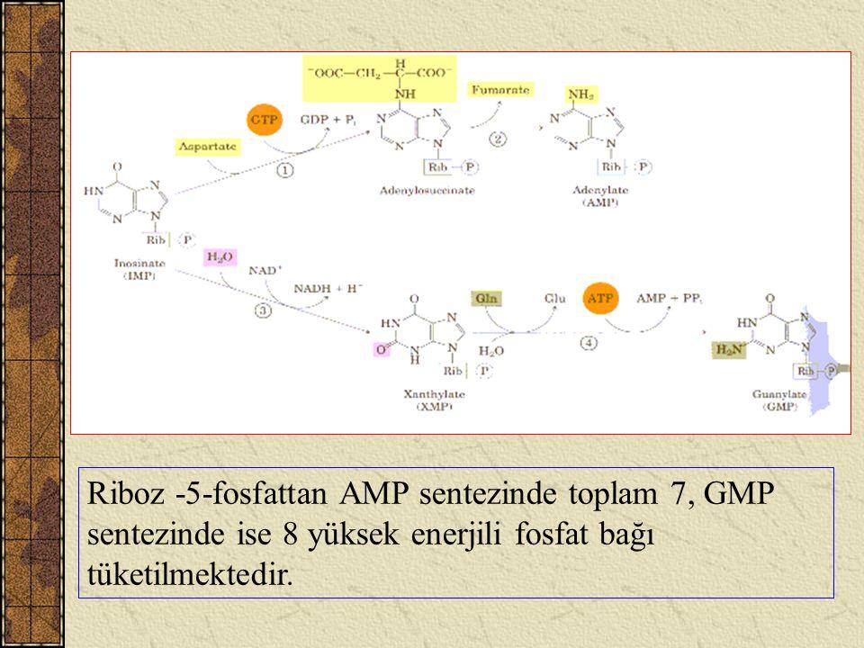 Riboz -5-fosfattan AMP sentezinde toplam 7, GMP sentezinde ise 8 yüksek enerjili fosfat bağı tüketilmektedir.
